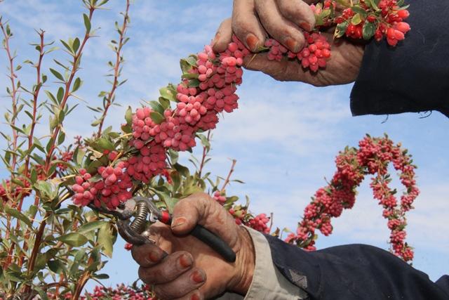 di-X4IR عدم حمایت از کشاورزان برای احداث بارگاه زرشک حاصل دسترنج زرشککاران در جیب دلالان